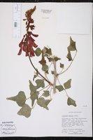 Image of Erythrina humeana