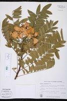 Cassia leptophylla image