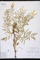 Prosopis chilensis image