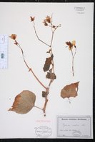 Begonia minor image