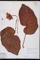 Begonia scharffii image