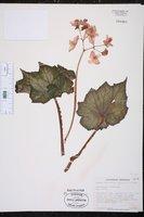 Begonia rex image