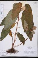Begonia maculata image