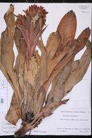Billbergia pyramidalis image