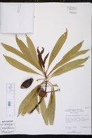 Image of Ochrosia mariannensis
