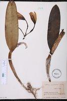 Cattleya quadricolor image