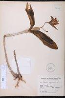 Cattleya porphyroglossa image