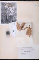 Cattleya maxima image