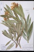 Nerium oleander image