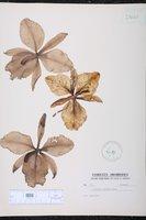 Cattleya labiata image