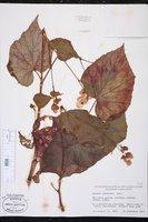 Begonia grandis image