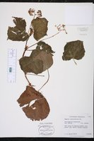 Begonia convolvulacea image