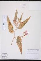 Begonia boliviensis image
