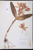 Guarianthe skinneri image