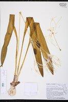 Hymenocallis choctawensis image
