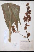 Image of Cyrtopodium andersonii