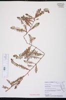 Phyllanthus emblica image