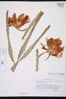 Disocactus speciosus image