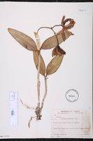 Cattleya intermedia image