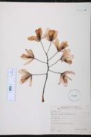 Guarianthe bowringiana image