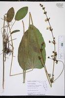 Echinodorus grandiflorus image