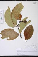Image of Nauclea latifolia