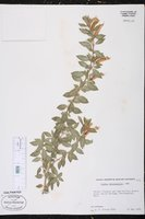 Cuphea micropetala image