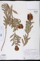 Callistemon acuminatus image