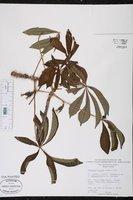 Jacaratia spinosa image
