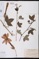 Passiflora mixta image