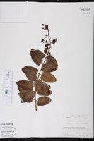 Berberidopsis corallina image