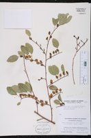 Azara petiolaris image