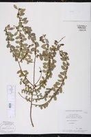 Azara microphylla image