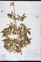 Image of Combretum erythrophyllum