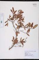 Quercus geminata image