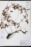 Lygodium microphyllum image