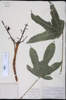Brachychiton acerifolius image