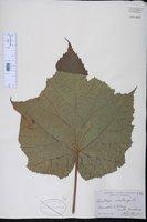 Image of Dombeya acutangula