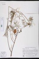 Melaleuca radula image