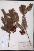 Calothamnus villosus image
