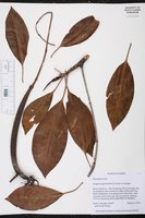 Bruguiera gymnorhiza image
