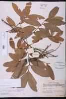 Dimocarpus longan image