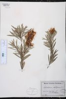 Callistemon salignus image