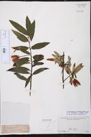 Crinodendron hookerianum image