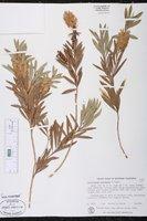 Callistemon paludosus image