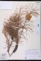 Callistemon pinifolius image
