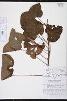 Image of Stictocardia campanulata