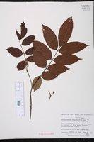 Lonchocarpus latifolius image
