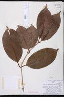 Image of Syzygium syzygioides