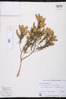 Melaleuca lanceolata image